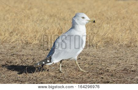 Ring billed gull walking in dry grass on windy day