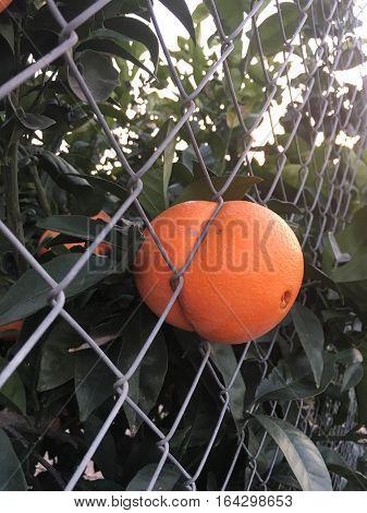 Naranja atrapada en una verja de la huerta