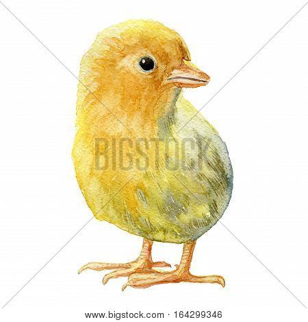 Watercolor illustration. Small yellow chicken on a background berom