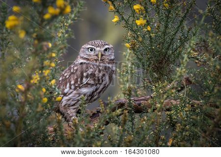A little owl perched and framed in a gorse bush staring forward at the camera