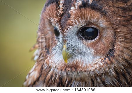 A very close photograph of the face of a tawny owl with eye and beak detail