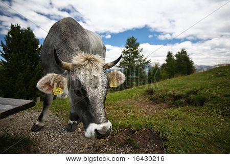 Cow in high mountains staring at you (Dolomites, Italy) poster
