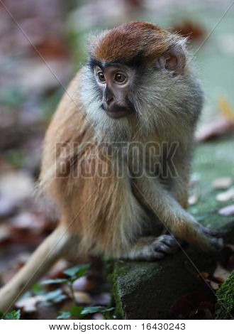cute and lonely macaque poster