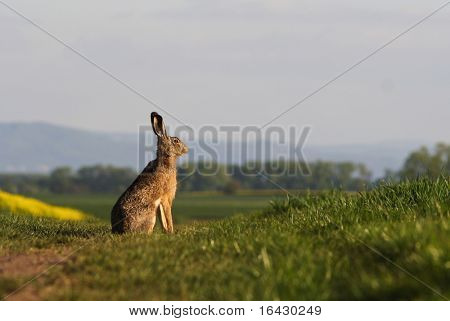 Brown hare (lepus europaeus) sitting on a green balk