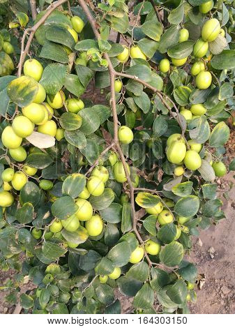Fresh Indian Jujube, a delicious fruit, on tree in a garden