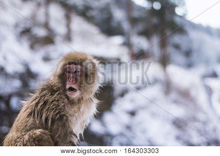 Snow monkey onsen  Take photo at nagano Japan
