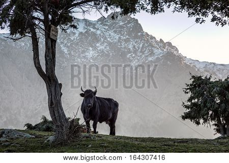 A black cow with large horns stands alone under a tree looking towards the camera at Bocca di a Scoperta in the snow capped mountains of Corsica