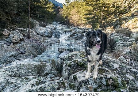 Border Collie dog standing on moss covered rocks beside the fast flowing Tartagine river in the Balagne region of Corsica with pine trees and mountains in the distance