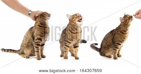 Beautiful adult striped tabby domestic cat in different poses - sitting when human hand strokes him standing and meowing interested with cat food isolated on white background. Triptych.