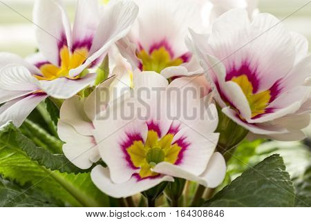 Bouquet of spring flower of Primula vulgaris .