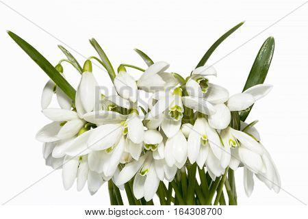 Bouquet of white spring flowers of snowdrops isolated on white background close up