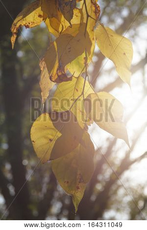 A close view of Birch autumn leaves being backlit by the sunlight.