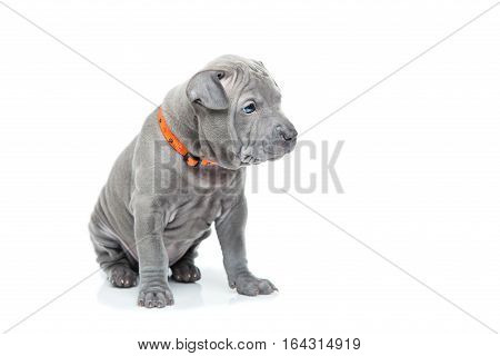 One month old thai ridgeback puppy dog in orange collar sitting. Isolated on white. Copy space.