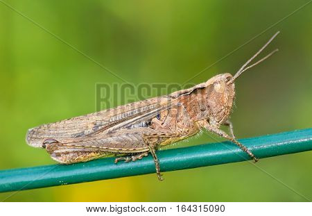 Brown locust (lat. Acrididae) on a green background