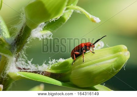 A similar Lily family (lat. Lilioceris lilii) from the family of leaf beetles, feed on leaves, buds, stems and flowers of plants of the Lily family.