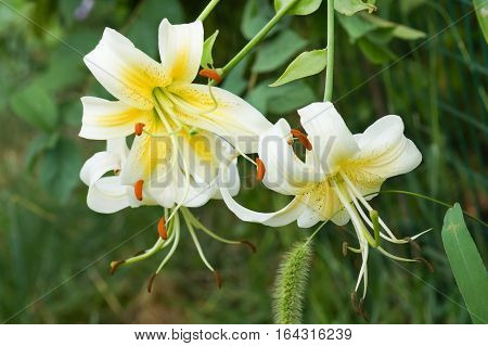 Flowers tiger Lily Lady Alice (Lilium Lady Alice)