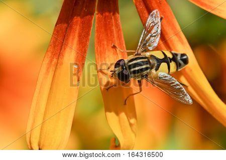 Gorzalka (lat. Syrphidae) on the petals of rudbeckia
