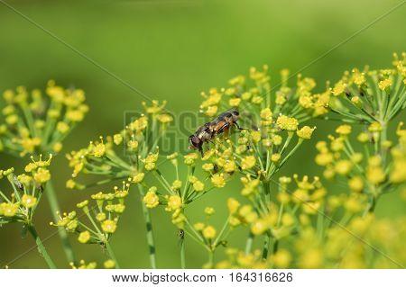 Gorzalka (lat. Syrphidae) on the umbrella dill