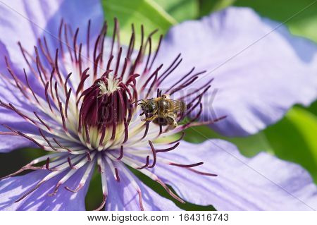 The fluffy stamens of a flower climbing plant Clematis General Sikorski closeup