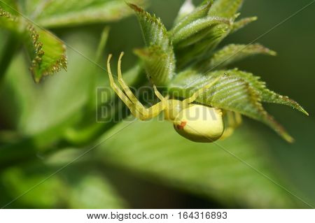 The yellow backed spider (lat. Misumena vatia) on green leaf
