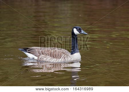 Canada goose, Branta canadensis, swims in a pond