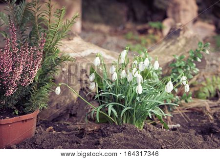 Portrait of growing snowdrop plant in a garden