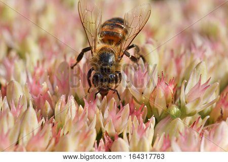 The bee (lat. Anthophila) Sedum prominent (lat. Hylotelephium spectabile, Sedum spectabile otherwise)