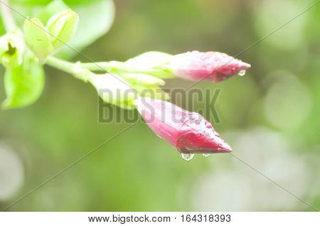 dew drop on Rose dipladenia Alice Du Pont or Mandevilla flower