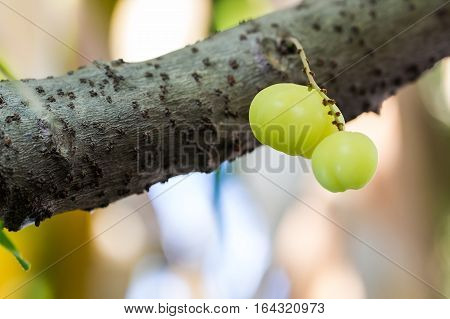 'Star gooseberry' fruits are hanging on their natural branch.