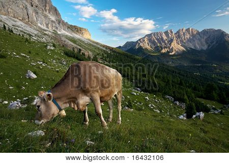 Splendid alpine scenery with a cow grazing on fresh green grass (Dolomites, Italy) poster