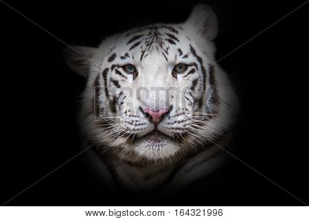 White tiger with blue eyes relaxing in zoo