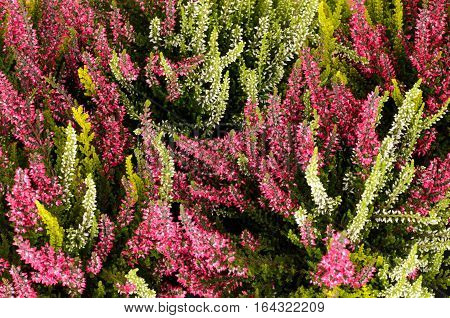 Pink and white heather (Calluna vulgaris) detail