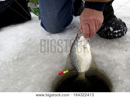 Fisherman pulling a Crappie through a hole in the ice