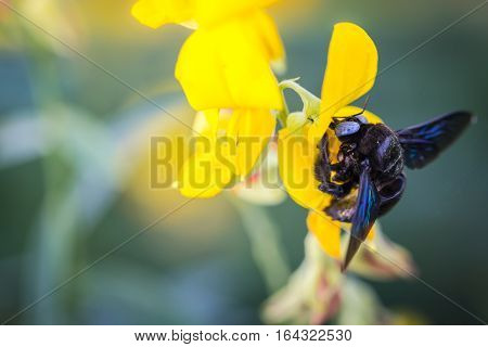 Photo closeup of a bumble bee sucking nectar pollen Crotalaria golden blur the image.