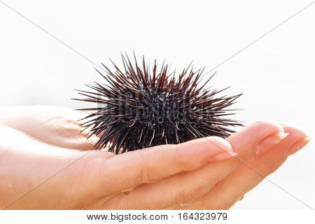 Sea urchin, Black Echinoidea, on women's hand