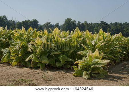 Tobacco plants in western Kentucky ready to cut and house for curing. Notice that the leaves are starting to turn golden yellow. During the curing process the leaves will change to a tan color.