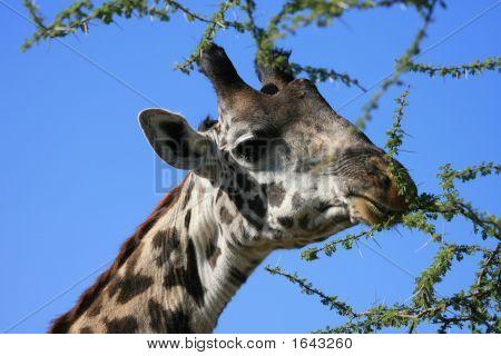 Masai Giraffen Serengeti Tansania