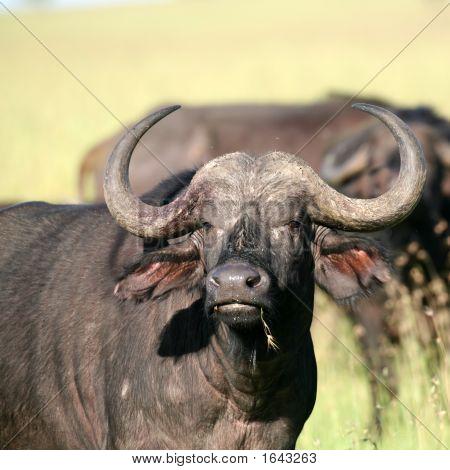 Afrikanischer Büffel in Masai Mara fliegt Kenia mit