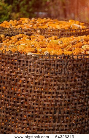 Harvested corn in wicker basket, freshly picked maize ears out in agricultural field