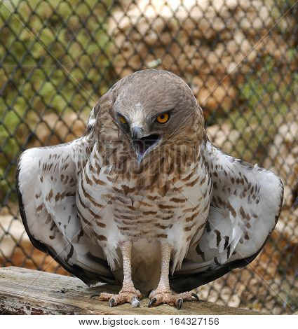 Short-Toed Snake Eagle spreading its wings in zoo