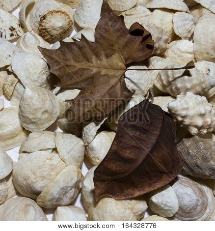 White shells with two dry brown leaves square format