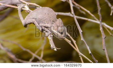 Perinet chameleon, Calumma gastrotaenia is a species of chameleon in Berlin zoo