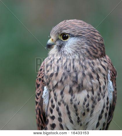 Common Kestrel - Falco tinnunculus - close-up view of this beautiful bird poster