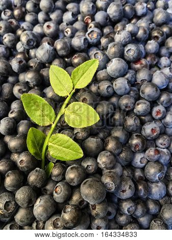 Close up of fresh gathered ripe dark blue bilberries and a sprig with green leaves in forest in summer.