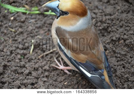 Coccothraustes In On The Ground