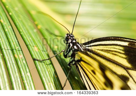 Tropical butterfly, the Idea of white or wood Nymph (lat. Idea leuconoe) on palm leaf