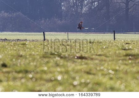 Buzzard Flying Low Over Dutch Farmland In Winter. Geesteren. Achterhoek. Gelderland. The Netherlands