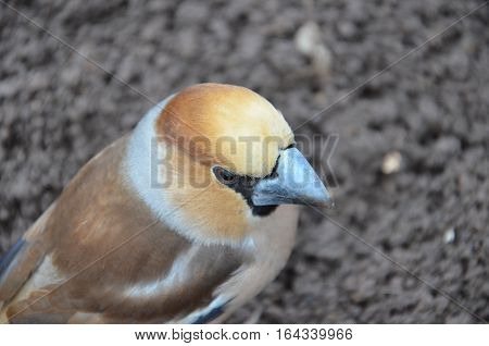Coccothraustes in on the ground in the greenhouse with open