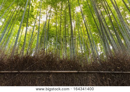 Bamboo forest Bamboo grove natural landscape background