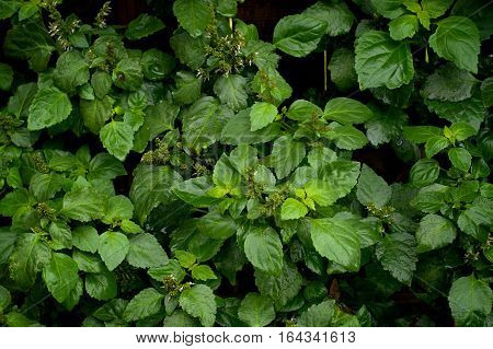 Lush Patchouli Plant After Rain